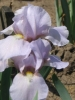 Iris De Rocaire 450Ft