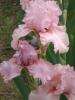 Blushing Pink 800Ft