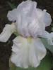 Iris Laughter