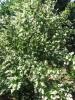 Fehér gyöngyvirágcserje