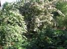 Gyöngyvirágcserjék
