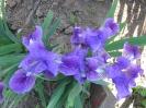 New Lavender 300Ft