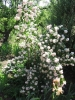 Rózsaszín gyöngyvirágcserje