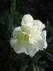 Tiszta fehér bazsarózsa (1000Ft)